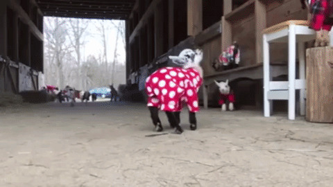 Adorable Baby Goats GIF - Find & Share on GIPHY