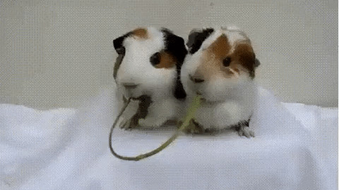 Guinea Pigs Kiss GIF - Find & Share on GIPHY